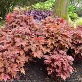 Heucherella 'Sweet Tea' - Foamy Bells