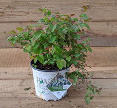 Spirea Double Play® Blue Kazoo®
