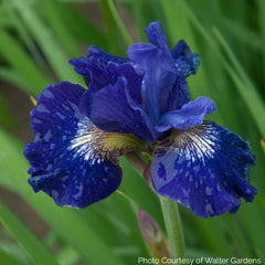 Iris Sibirica 'Over in Gloryland' - Siberian Iris