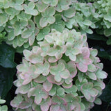 Little Lime® Panicle Hydrangea