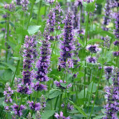 Agastache Little Adder - Anise Hyssop