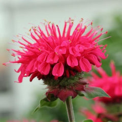 Monarda 'Bee-Happy'® - Bee Balm