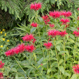 Monarda 'Fire Marshal' - Bee Balm