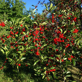 Dwarf North Star Cherry