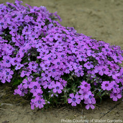 Phlox 'Eye Shadow' - Creeping Phlox