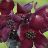 Ragin' Red™ Dogwood - Cornus florida 'JN13'