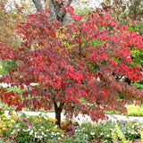 Red Cloud Dogwood