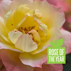 Oso Easy Italian Ice® Landscape Rose