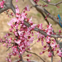 Ruby Falls Redbud - Cercis Candensis