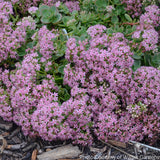 Sedum 'Lime Zinger' Sunsparkler® Series - Stonecop