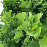 Sky Tower Ginkgo Tree