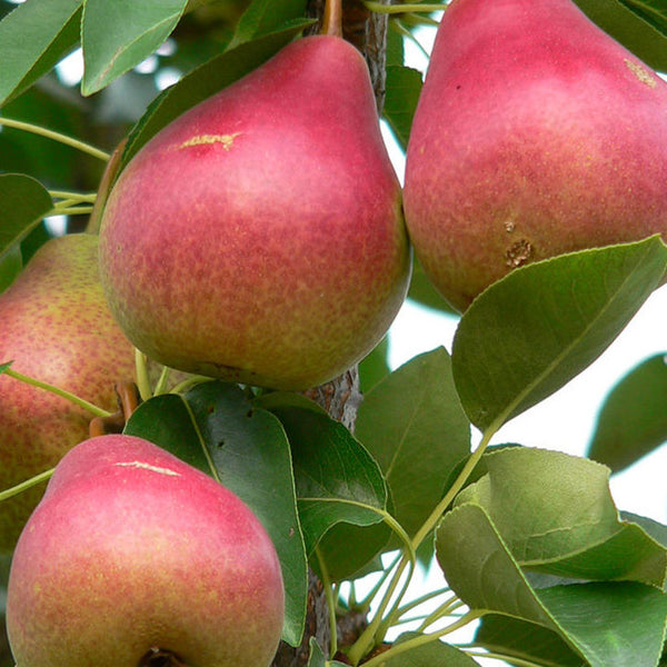 Pear 'Summer Crisp' Fruit Tree