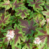 Tiarella 'Sugar and Spice' Foamflower