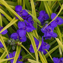 Tradescantia 'Sweet Kate' - Spiderwort