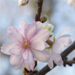 Autumnalis Cherry Bloom