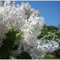 Betsy Ross Lilac