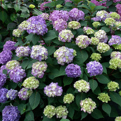 BloomStruck Endless Summer Hydrangea