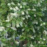 Canada Red Cherry - Chokecherry