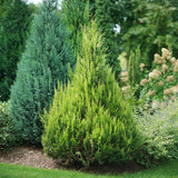 Pinpoint® Gold False Cypress