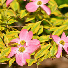 Cherokee Sunset Flowering Dogwood