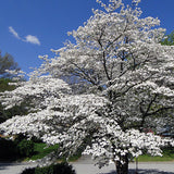 Cherokee Princess® Dogwood