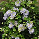 Clematis 'Diamond Ball'