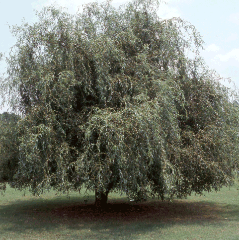 Corkscrew Weeping Willow Tree