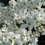 Cloud Nine® Flowering Dogwood