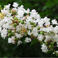 Acoma Crape Myrtle Bloom