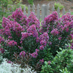 Purple Magic™ Semi-Dwarf Crape Myrtle - First Editions®