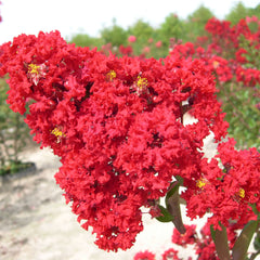 Red Rocket Crape Myrtle