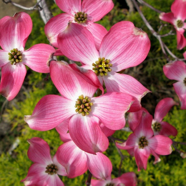Cherokee Brave® Flowering Dogwood