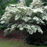 Greensleeves Kousa Dogwood