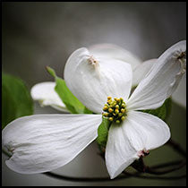 Cherokee Daybreak® Flowering Dogwood