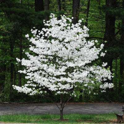 White flowering dogwood new blooms nursery white flowering dogwood mightylinksfo