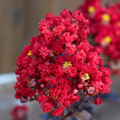 Crape Myrtle Enduring Summer Red Star®