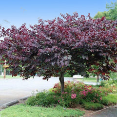 forest pansy redbud tree purple leaves