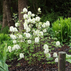 Mt. Airy Fothergilla - Bottlebrush