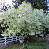 Fringe Tree - 'Dirr'