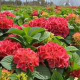 Hydrangea Grateful Red®