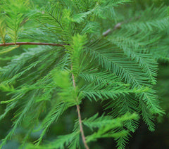 Green Whisper Bald Cypress Leaves. They are soft to touch and a very strong bright emerald green.