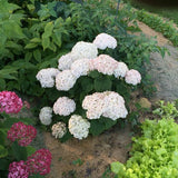 Invincibelle® Wee White Smooth Hydrangea