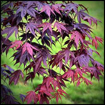 Japanese Maple Tree - Seed Grown - Compare to 'Bloodgood'