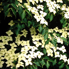 Milky Way Kousa Dogwood