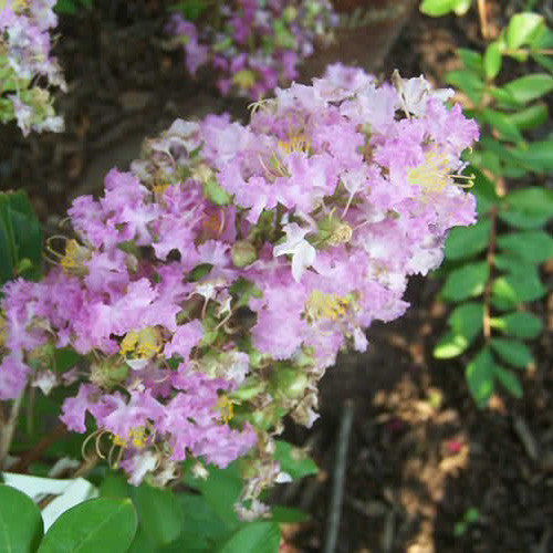 'Zuni' Purple Crape Myrtle Tree