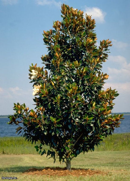 Southern Magnolia New Blooms Nursery