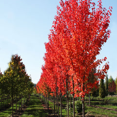 Red Rocket Red Maple