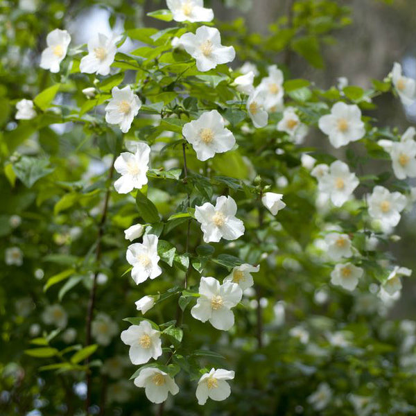 Mock Orange - Philadelphus x virginalis