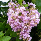 'Muskogee' Purple Crape Myrtle Tree