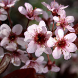 'Thundercloud' Purple Leaf Plum